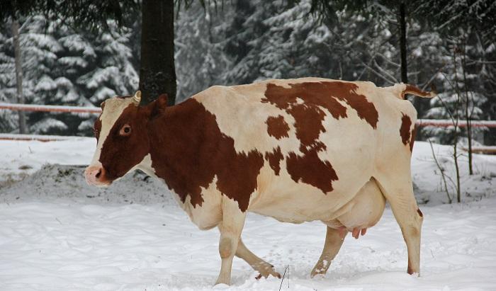 корова идет по снегу