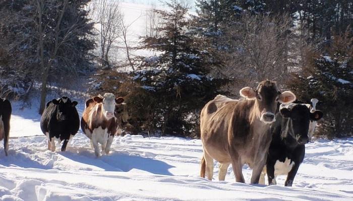 коровы на снегу
