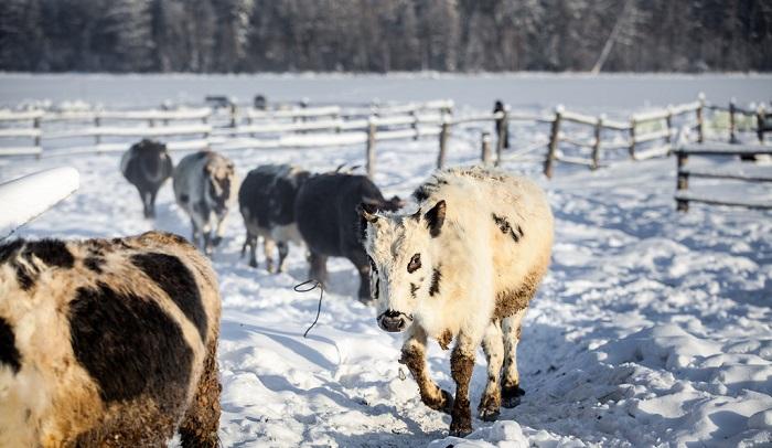 телята на снегу