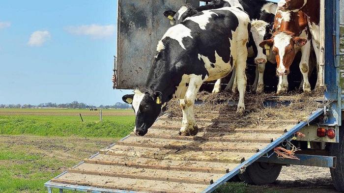 коровы и машина