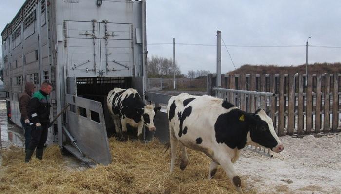 корова и фура
