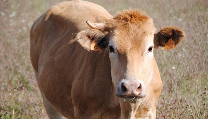 корова светлая