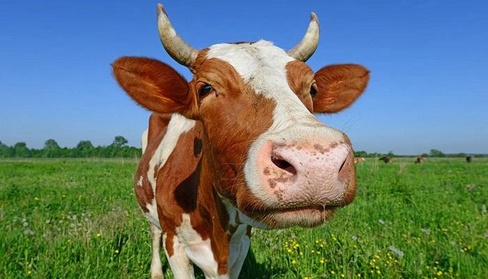 корова на зеленом фоне