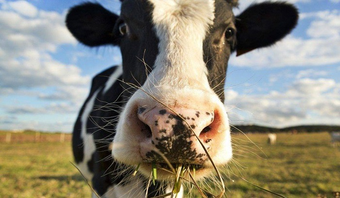 корова и степь