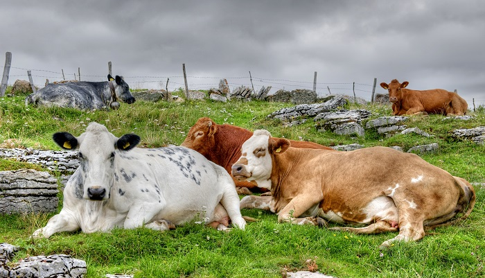 четрые коровы