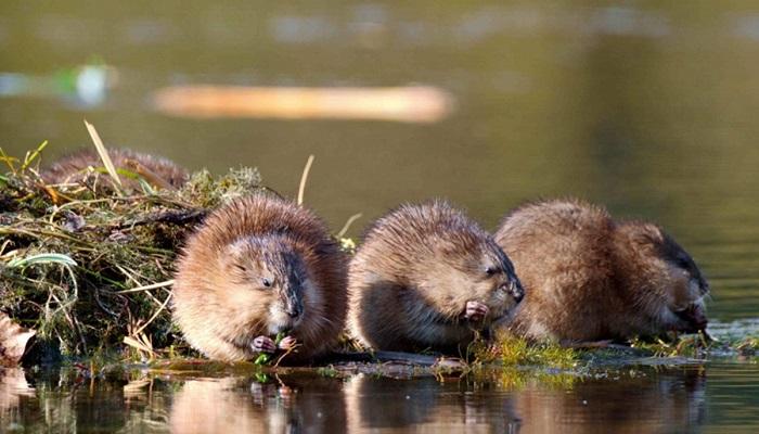 три ондатры около озера