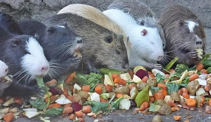нутрии кушают