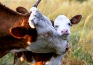 Рацион отелившейся коровы