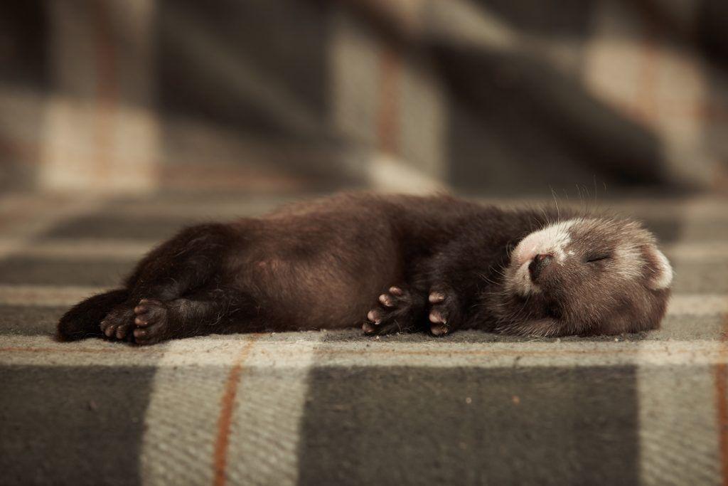 Маленький хорек крепко спит