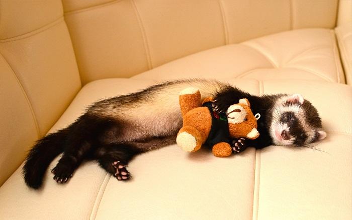 Хорек спит в обнимку с игрушкой