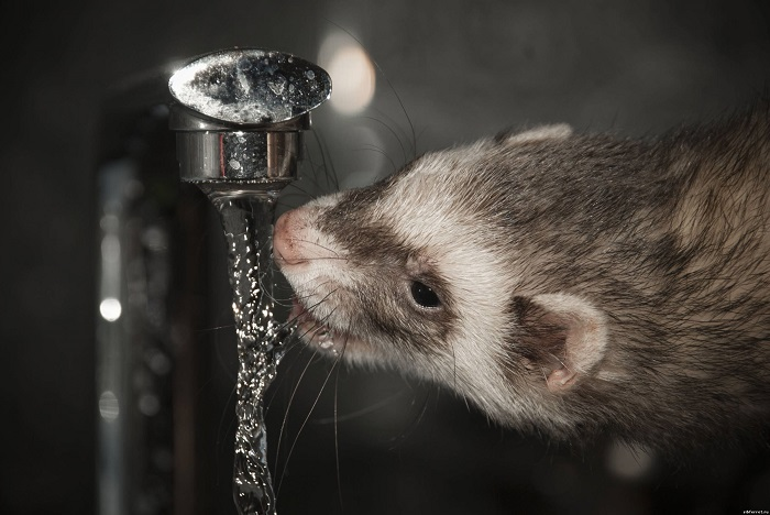 Хорек пьет воду из под крана