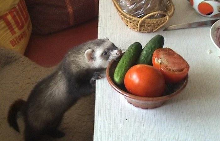 Хорек крадет еду