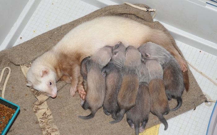 Маленькие хорьки пью молоко у мамы