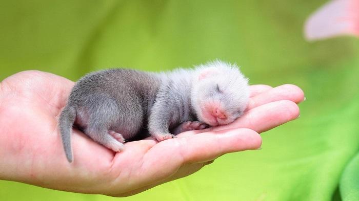Детеныш хорька спит на руке