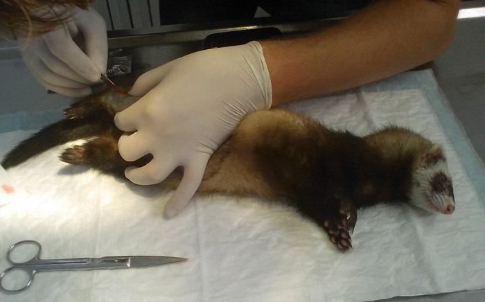 Хорек на операционном столе у ветеринара