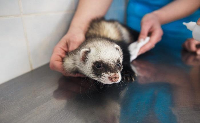Испуганный хорек в ветеринарной клинике