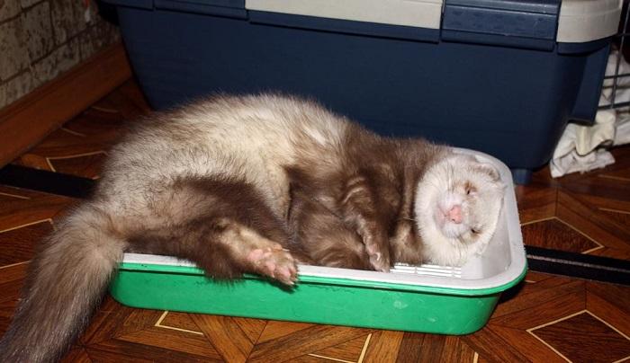 Хорек уснул в лотке
