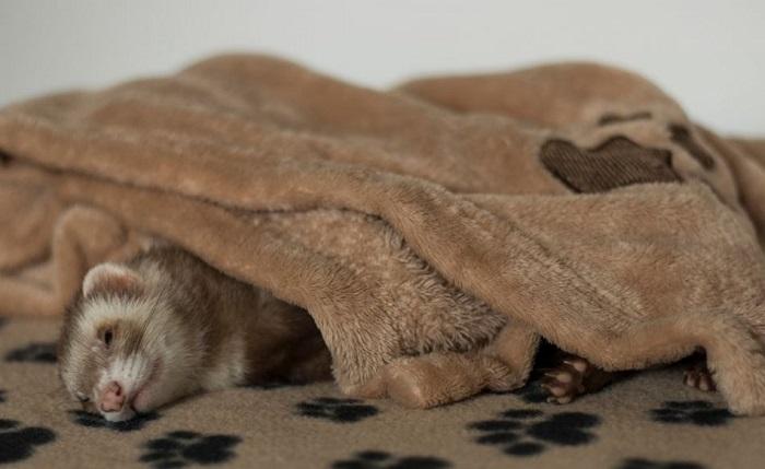 Хорек спит под пледом