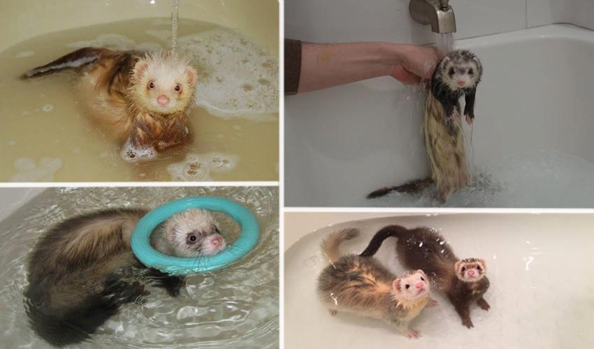 Хорьки купаются в ванной