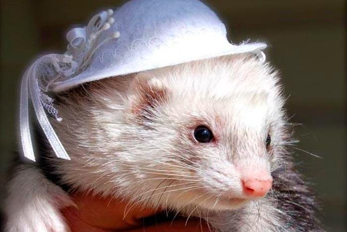 Красивый хорек в шапочке