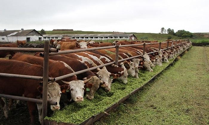 быки в ряд