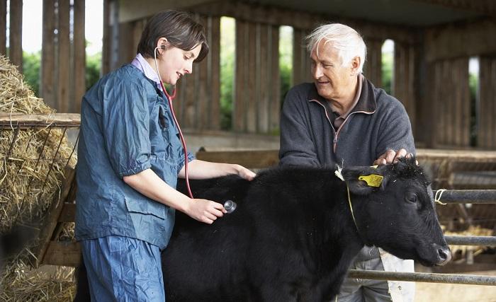 ветеринария и корова