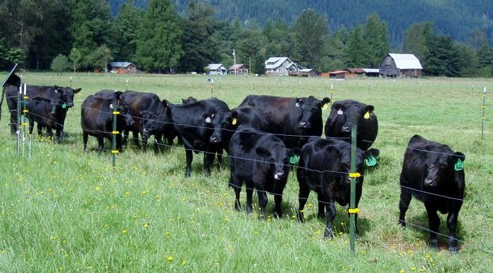 Черные коровы за забором электропастуха