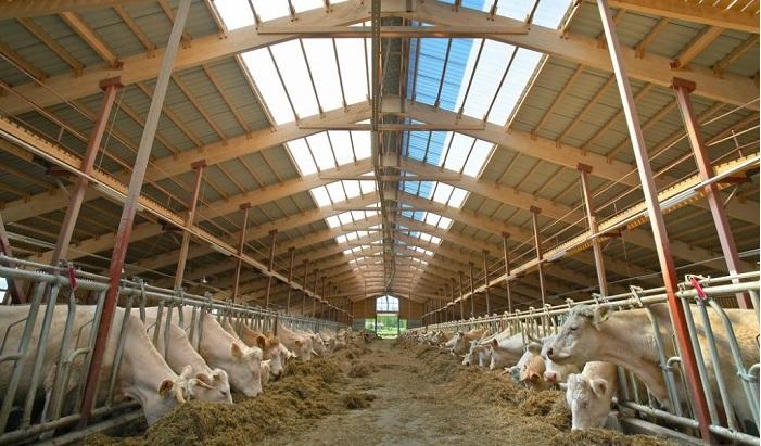 бык и ферма