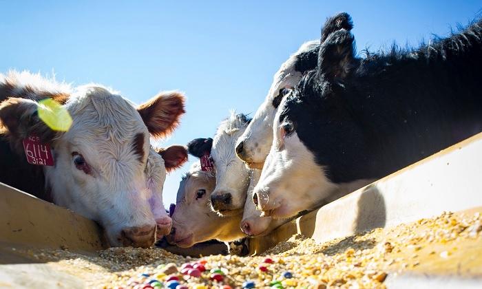кормление коров фелуценом