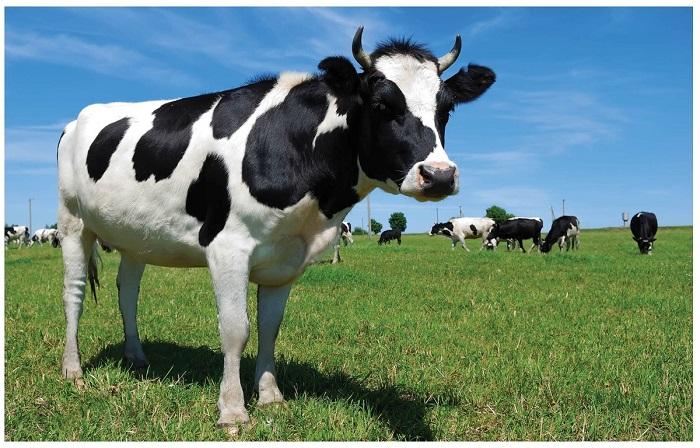 Корова стоит на лугу