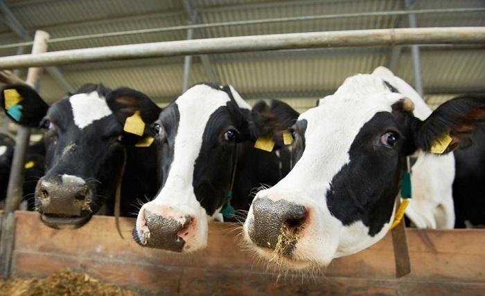 Три коровы крупным планом