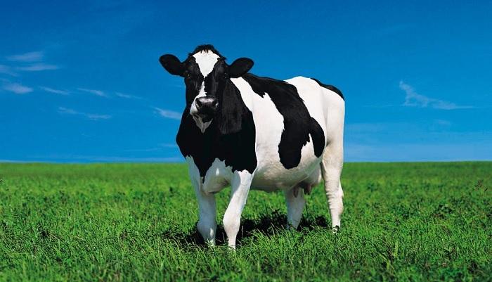 корова на фоне неба