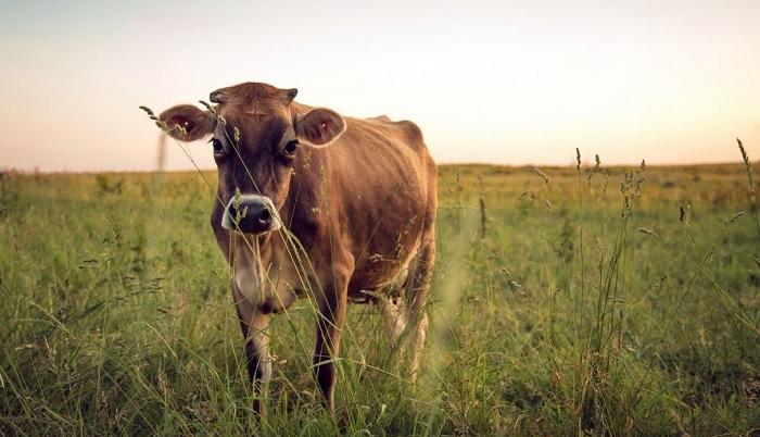 корова смотрит в кадр
