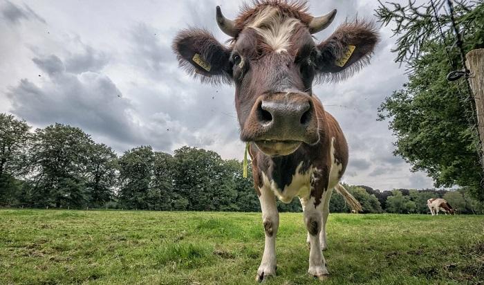 корова на фоне леса