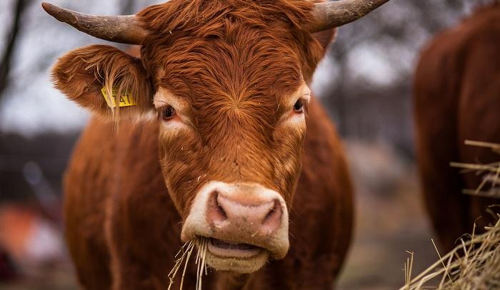 корова жует траву