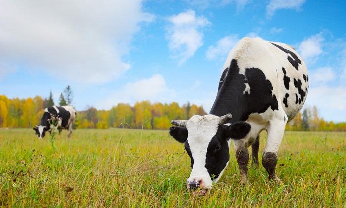 корова наклонила голову