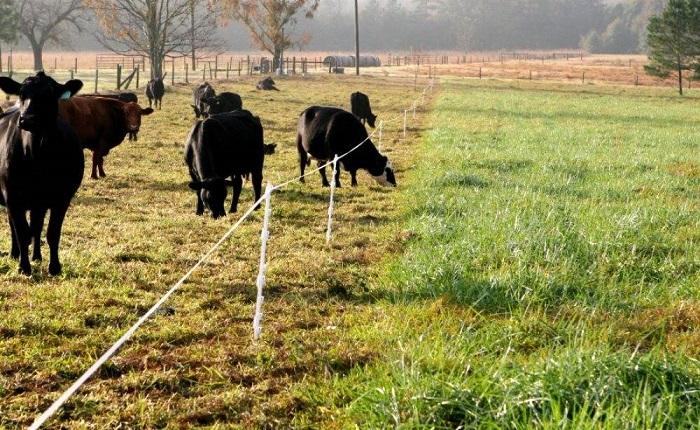 Коровье пастбище