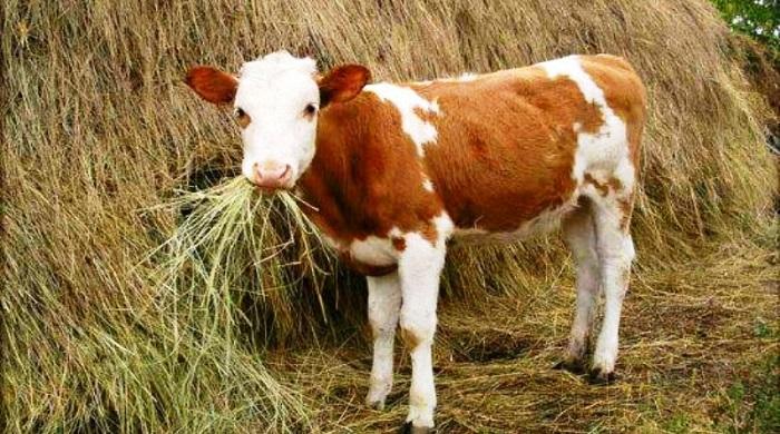 теленок и сеновал