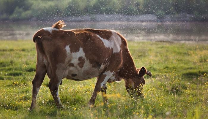 корова и мошка