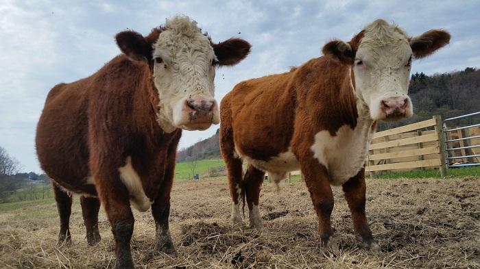 две коровы в загоне