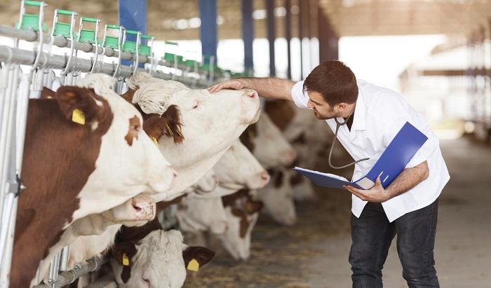 осмотр ветеринаром корову