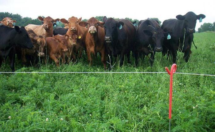 Много коров на выгуле