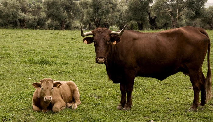 две коровы на лугу