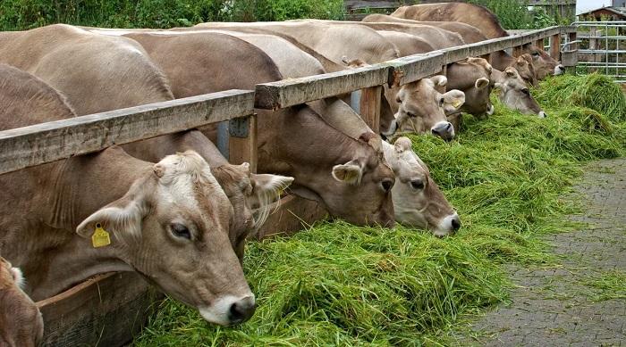 правильное питание коровы