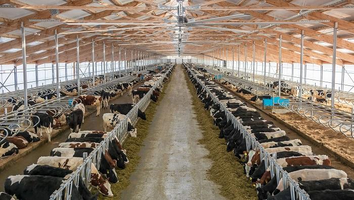 ферма и коровы