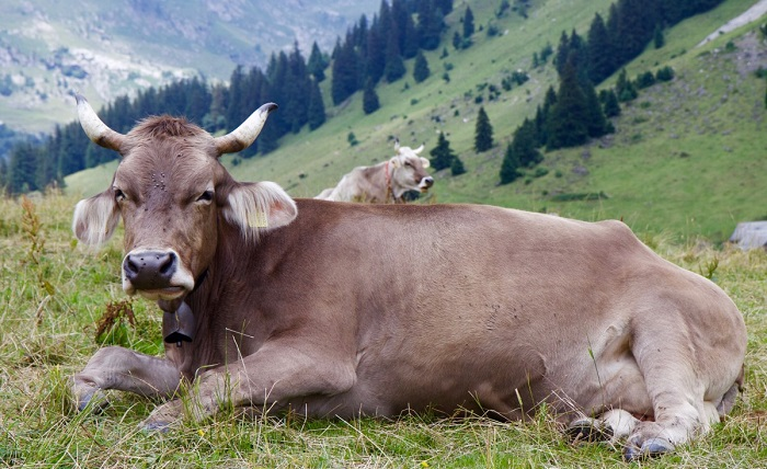корова у горы