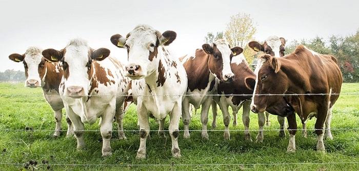 Коровы за электрическим забором
