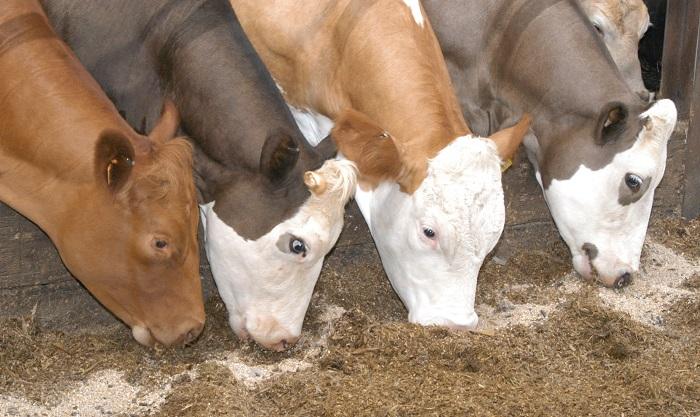 четыре коровы