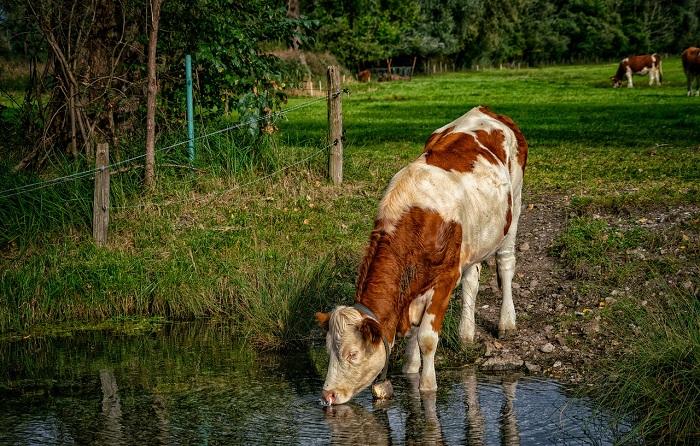 Корова пьет речную воду