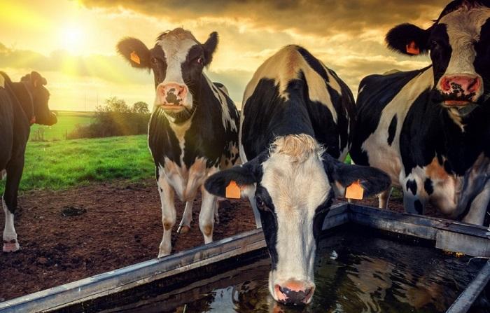Корова пьет воду на закате солнца